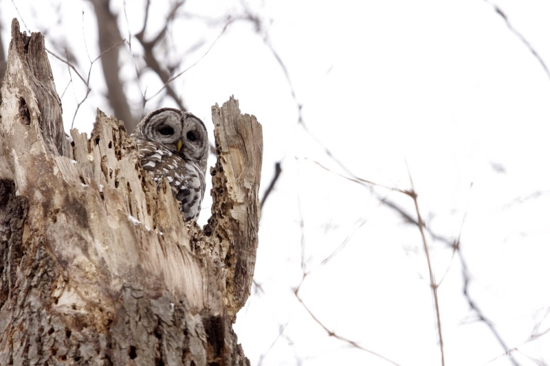 barred owl 120712 063