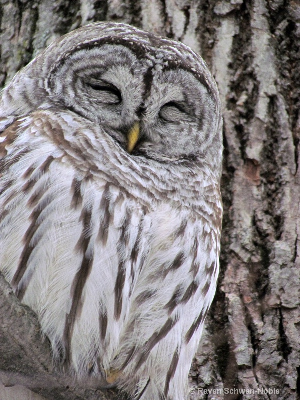 barred owl 010712 086