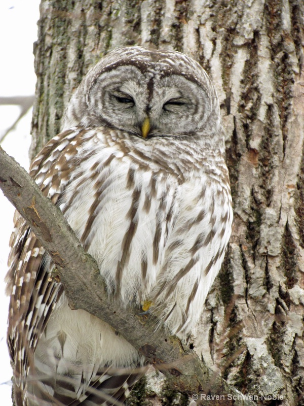 barred owl 010712 088