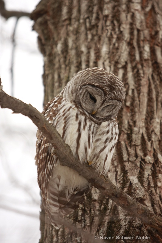 barred owl 010712 033