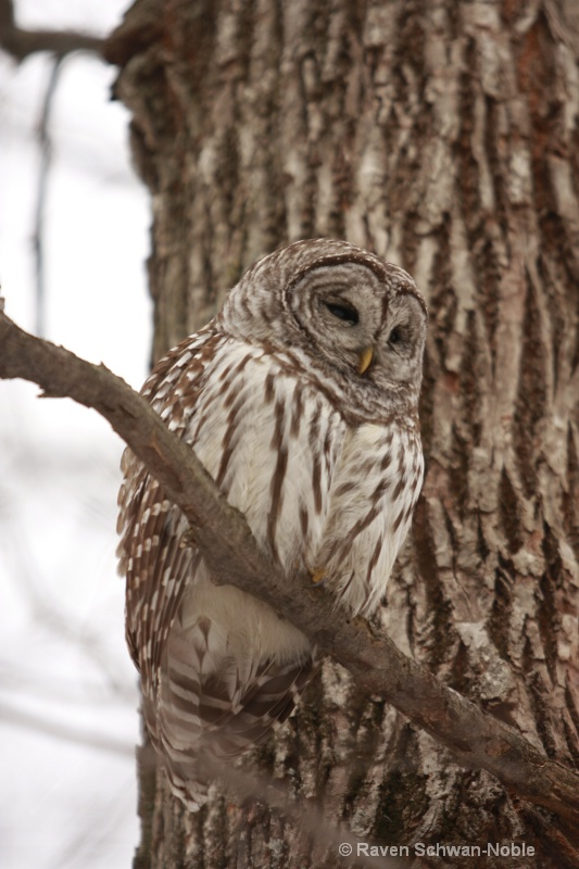 barred owl 010712 034