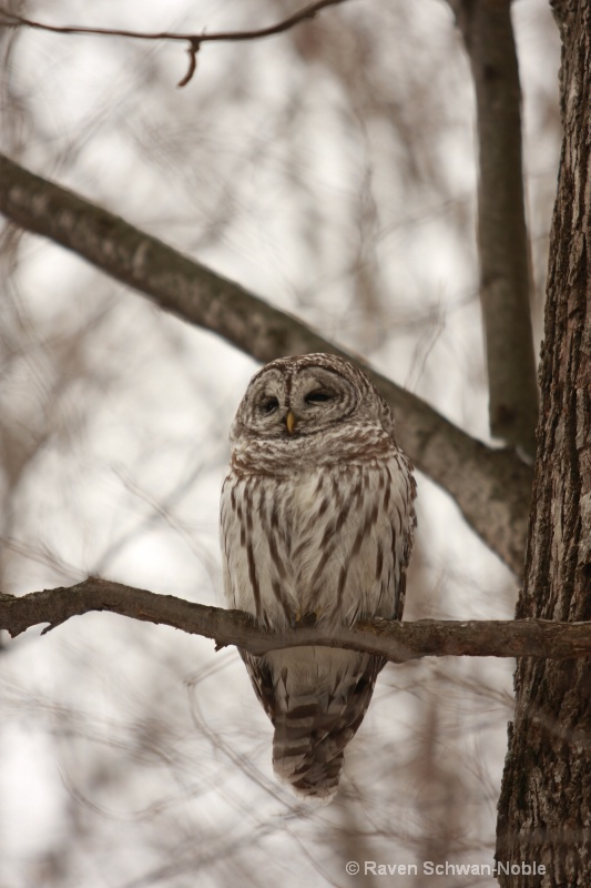 barred owl 010712 065