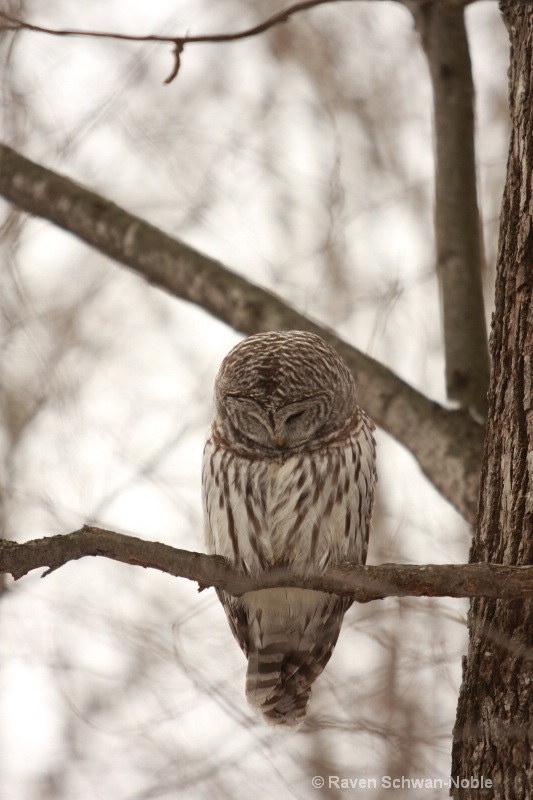 barred owl 010712 072
