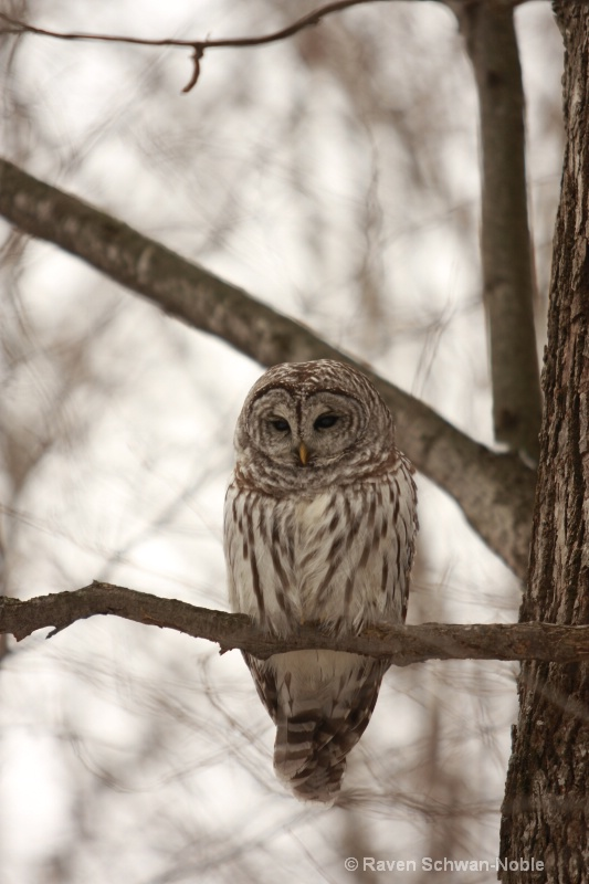 barred owl 010712 074
