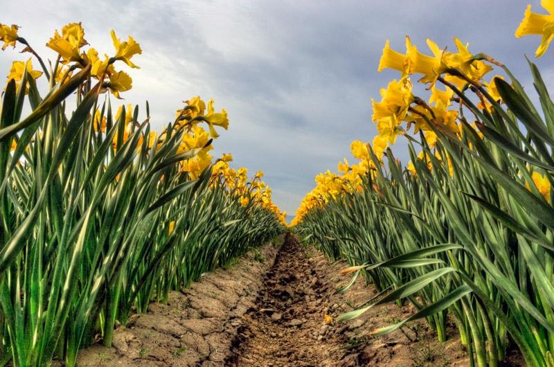 Daffodil Row