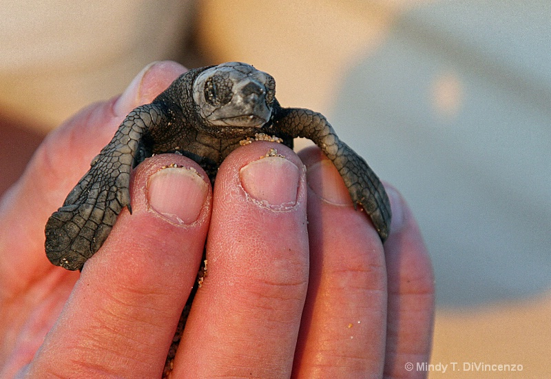 Holding a Baby Sea Turtle