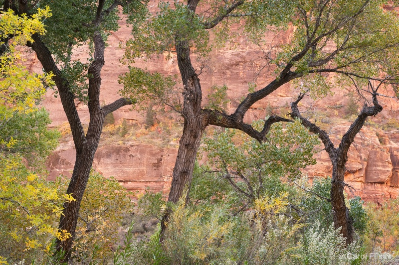 Dancing in the Fall Air ~ Zion National Park