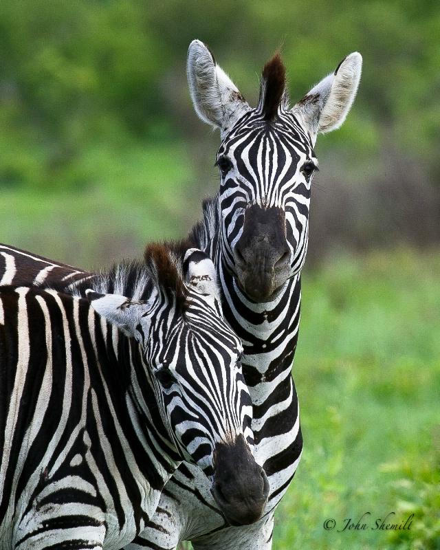 Zebra - Dec 29th, 2011
