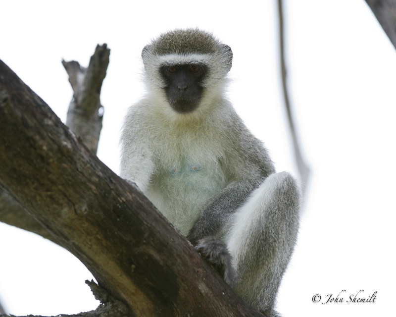 Vervet Monkey - Dec 30th, 2011