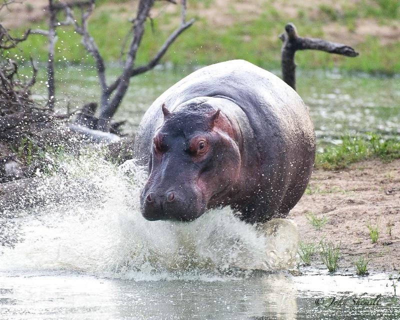 Hippopotamus - Jan 1st, 2012