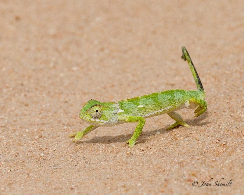 Flap-necked Chameleon - Jan 1st, 2012