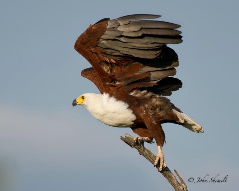 African Sea Eagle - Dec 30th, 2011