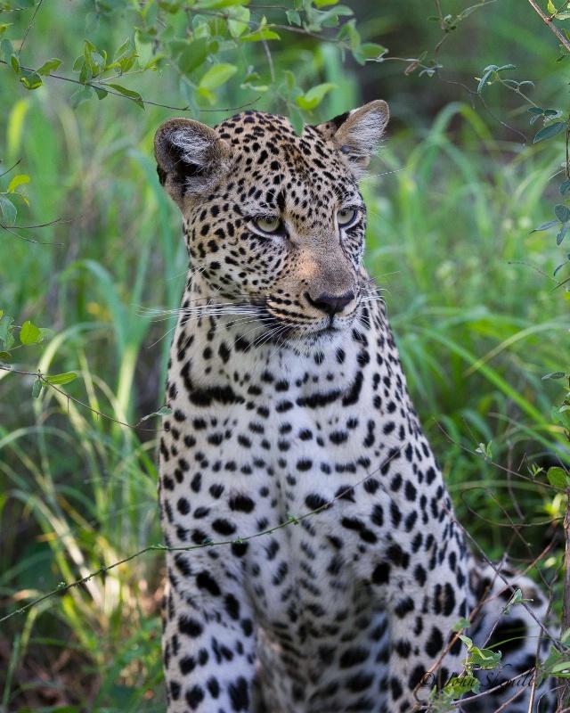 Leopard - Dec 27th, 2011