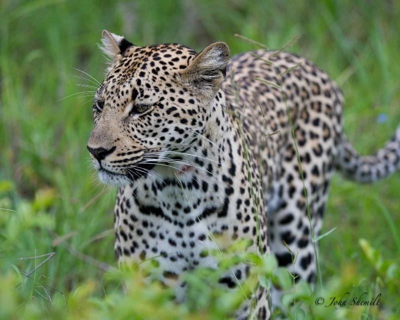 Leopard - Dec 29th, 2011