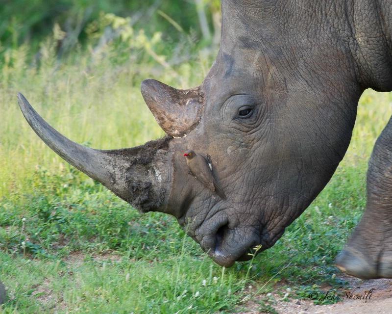 Rhinocerous - Dec 30th, 2011