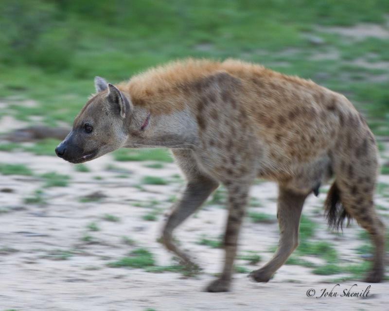 Hyena - Dec 29th, 2011