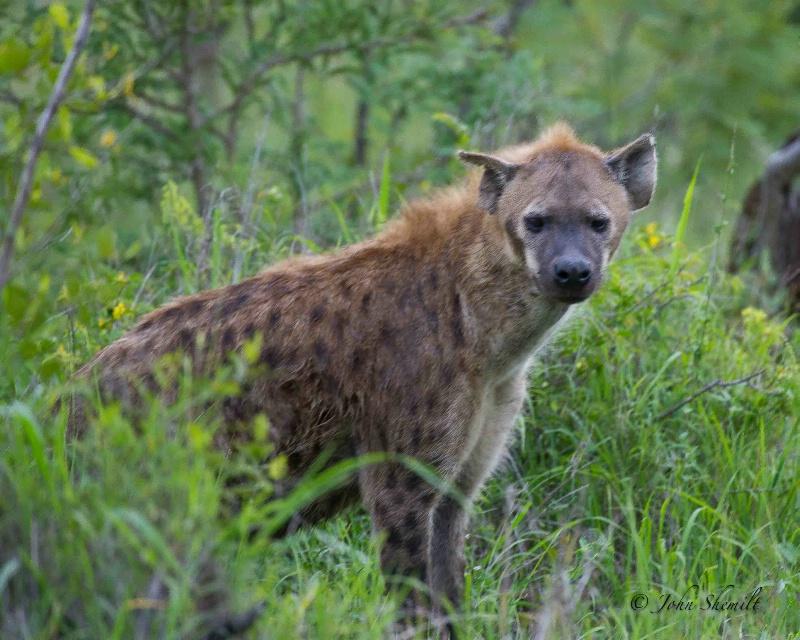 Hyena - Dec 30th, 2011