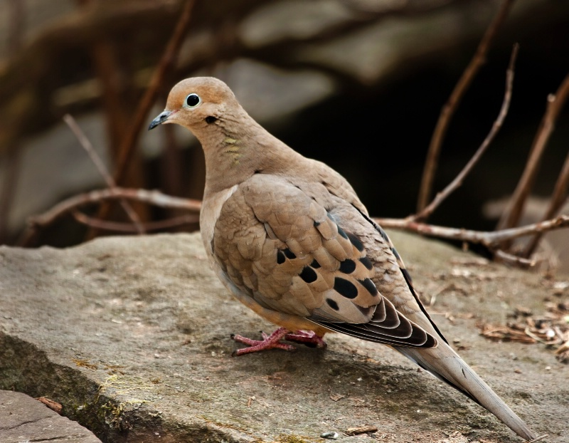 Dove on a Stone Wall