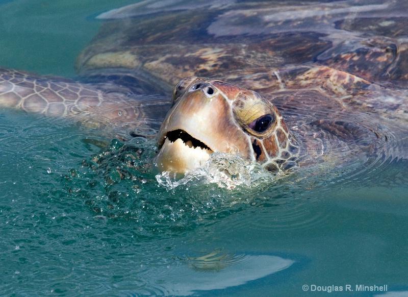Emerging Green Sea Turtle