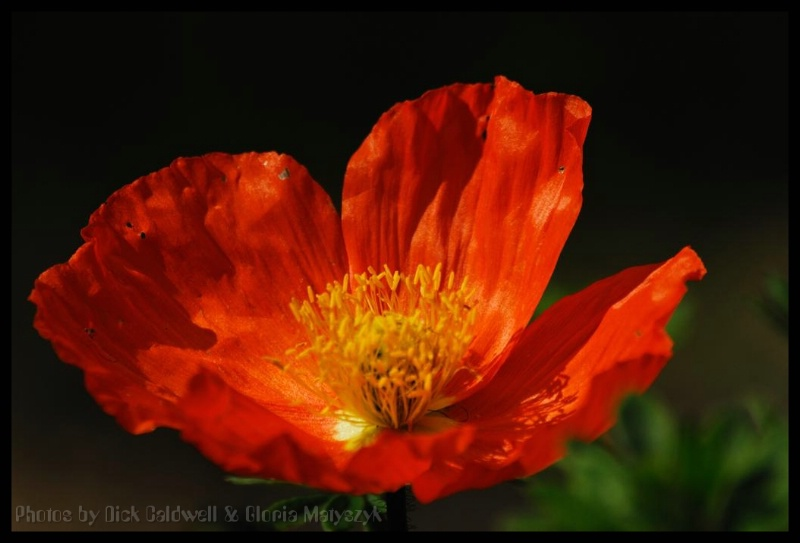 Red fully opened California poppy.