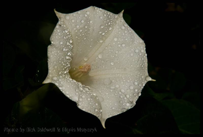 White morning glory in the rain, Florida.