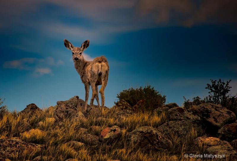 Mule deer, Dubois, Wyoming
