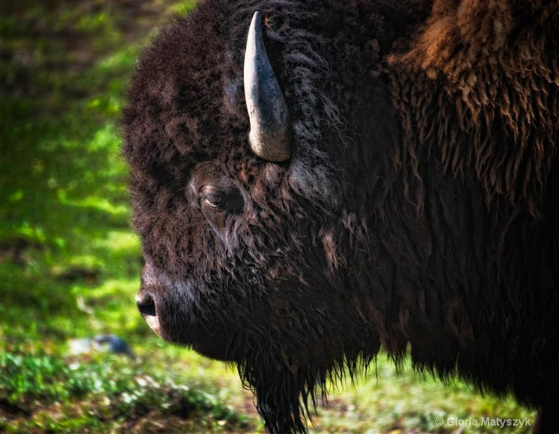 Bison, buffalo, Yellowstone, Wyoming