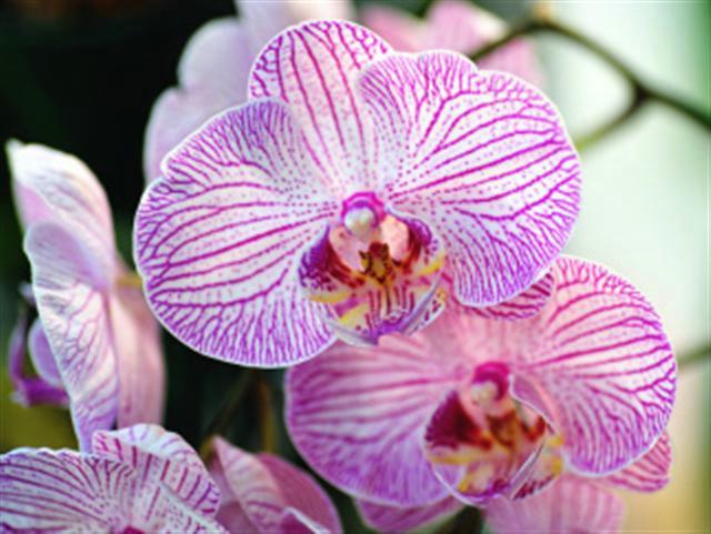 Phalenopsis orchid, Sunken Gardens, Florida
