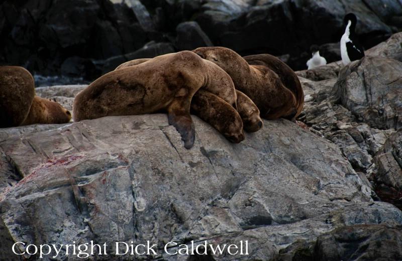 Sea lions, Ushuaia, Argentina