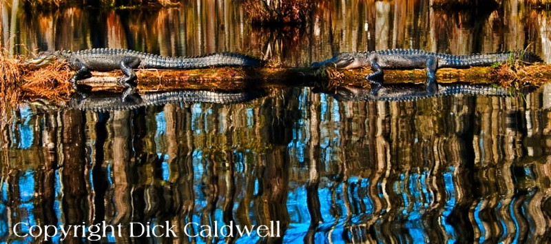 Alligator reflections, Tampa, Florida