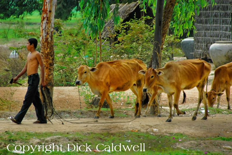 Boy and cows, Cambodia