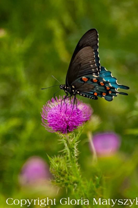 Butterfly,Shenandoah National Park, Virginia