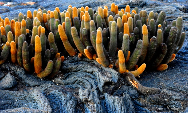 Lava Cactus