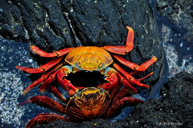 Sallylightfoot Crab