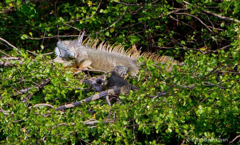 Cayman Green Iguana 4