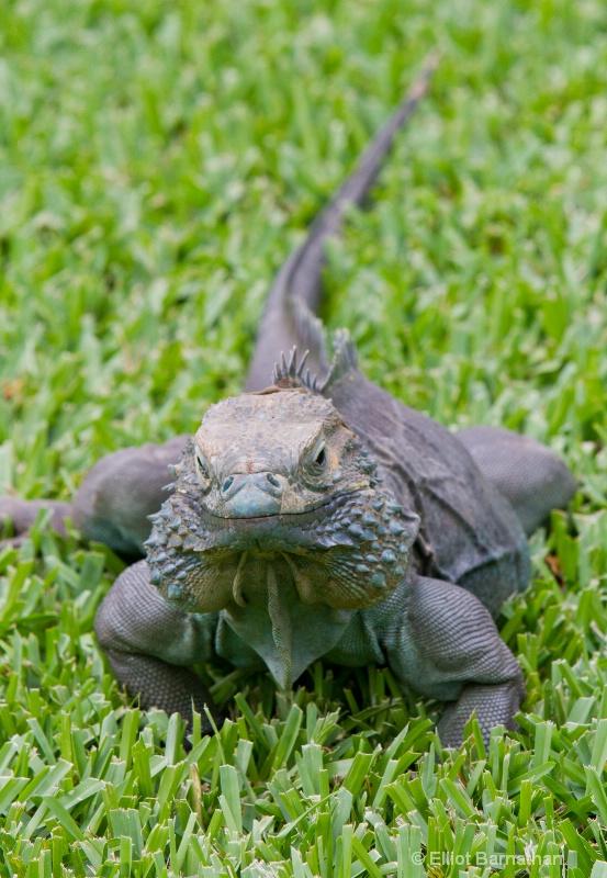 Cayman Blue Iguana 5