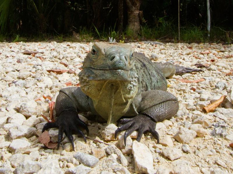 Cayman Blue Iguana 4