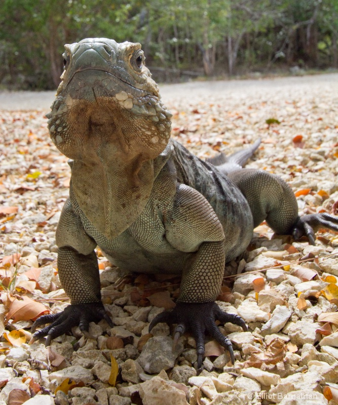 Cayman Blue Iguana 2