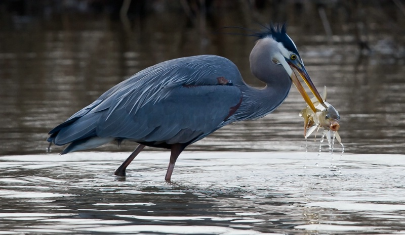 Great Blue and Screaming Fish
