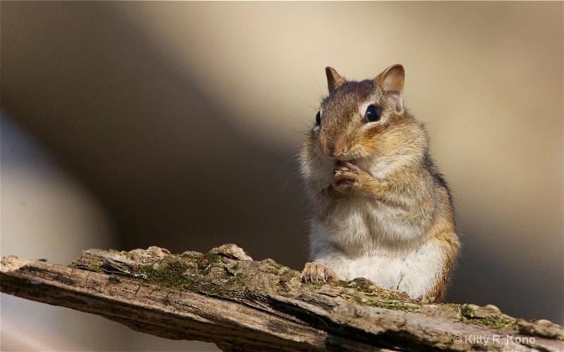 chipmunk praying