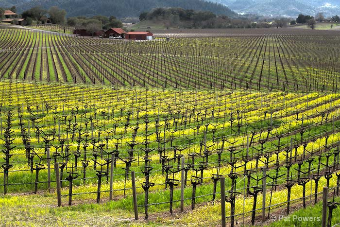 Spring in the Napa Vineyards