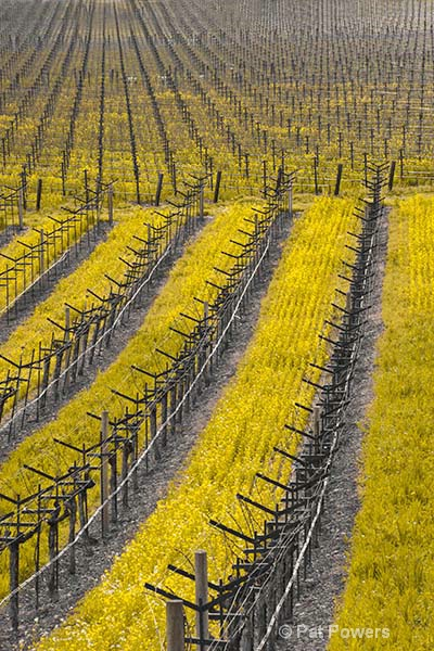 Napa in Spring, All About the Wild Mustard