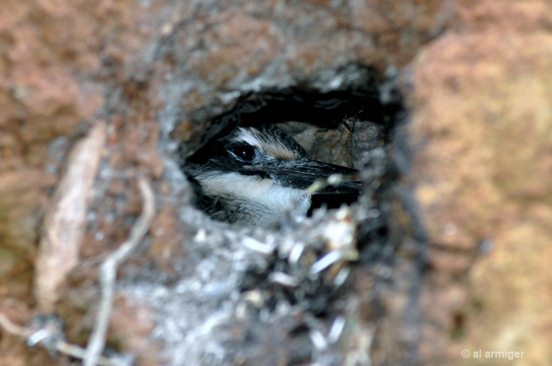 Kingfisher chick in its burrow