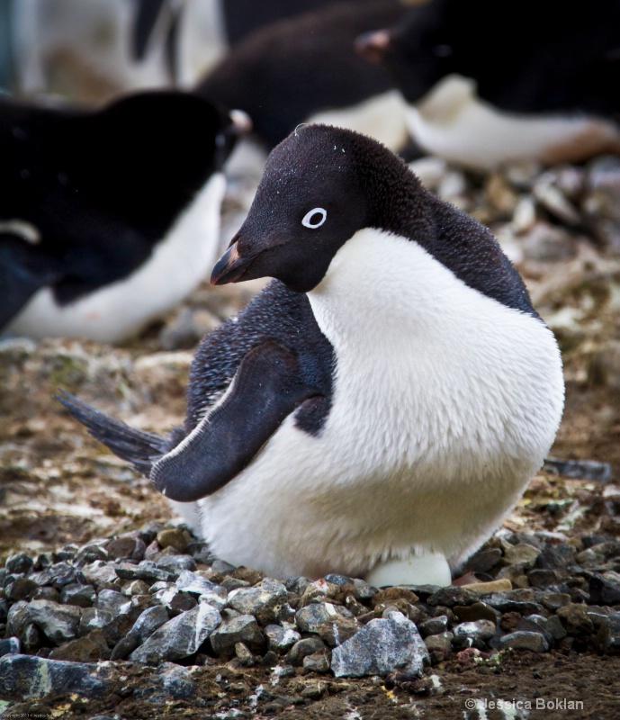 Adélie Penguin on Egg