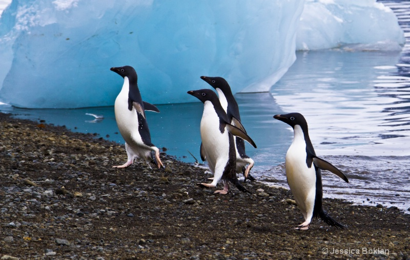 Adélie Penguins Emerge from Swim
