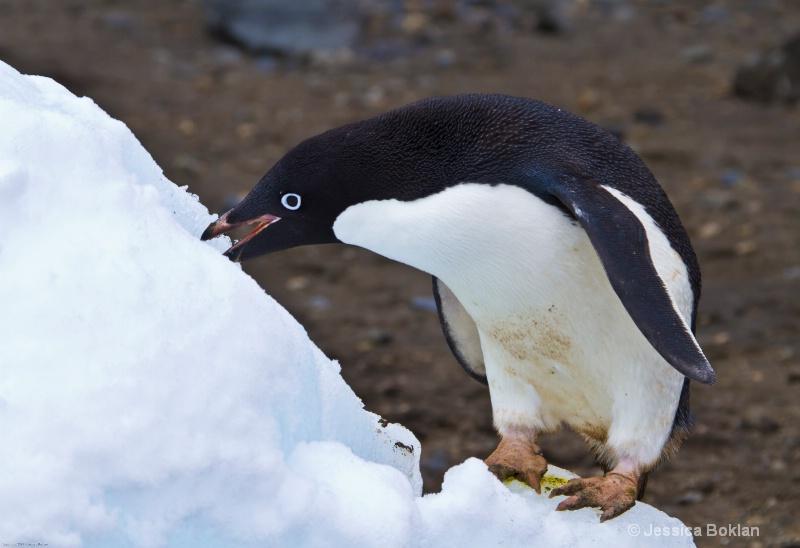 Adélie Penguin with Ice Cone