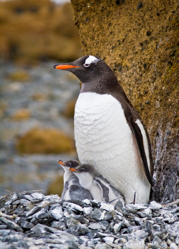 Gentoo Penguin with Chicks
