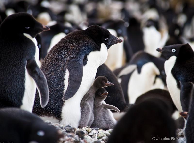 Adélie Penguin with Chicks