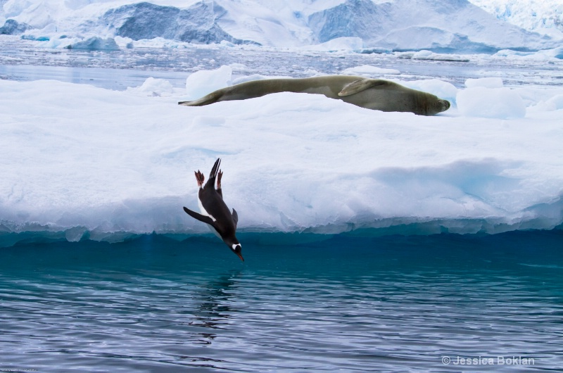 Gentoo Penguin Diving and Crabeater Seal