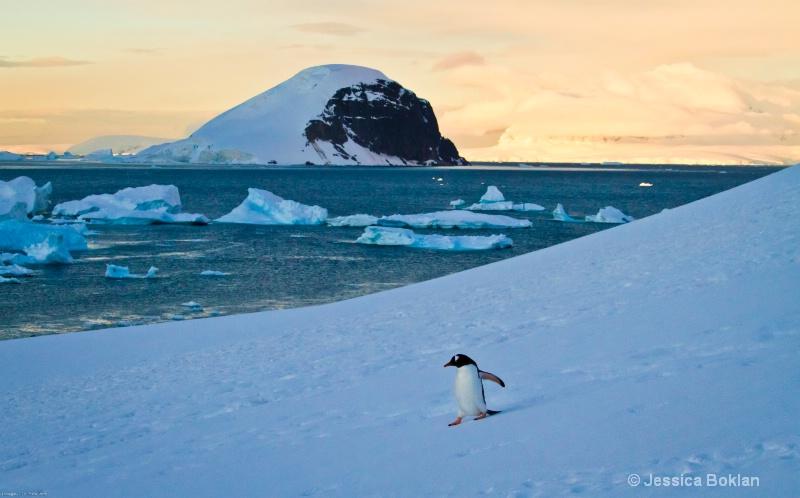 Gentoo Penguin Sliding
